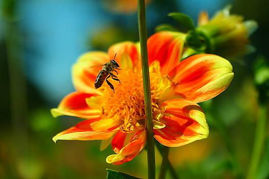 Honeybee in flight by Jeff Swan