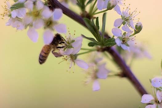 Honeybee working Cherry Blossom by Scott Carlton