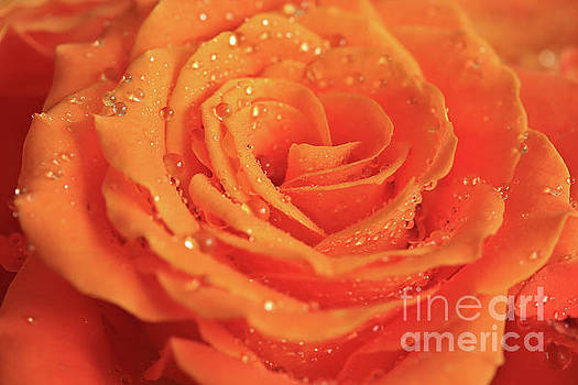 Honeydew Rose by Tracy Hall