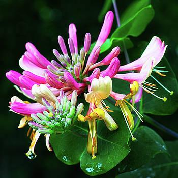 Honeysuckle Bloom by Robert FERD Frank