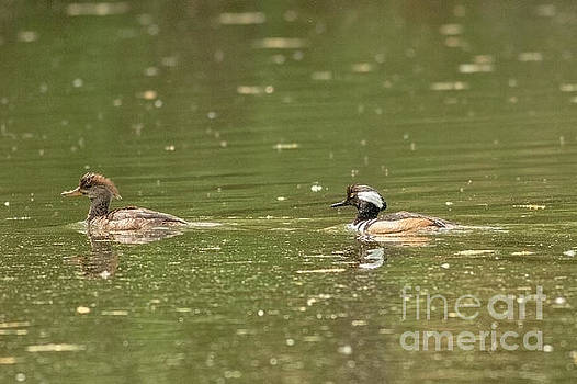 Hooded Merganser Couple by Natural Focal Point Photography