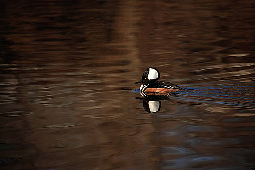 Karol Livote - Hooded Merganser