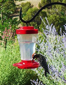 Woodpecker eating at Hummingbird Feeder by Joseph Frank Baraba