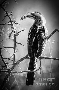 Hornbill resting by Pravine Chester