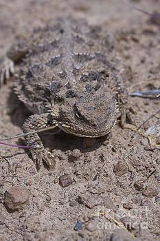 Horny Toad by Douglas Kikendall