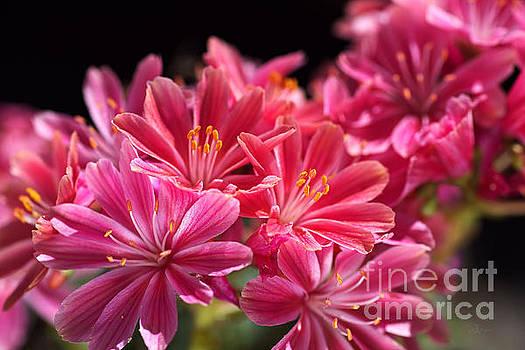 Hot Glowing Pink Delight Of Flowers by Joy Watson