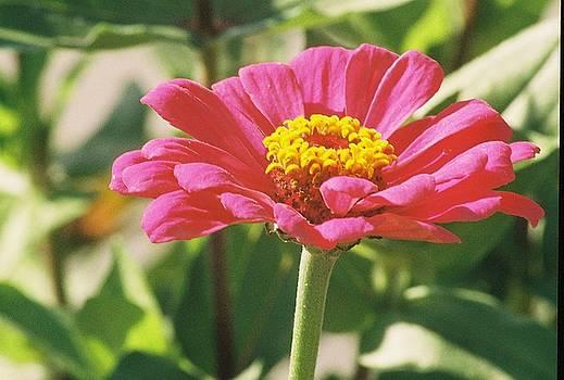 Hot Pink Flower in Frankemuth Michigan by Cheryl Vatcher-Martin
