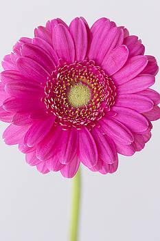 Hot Pink Gerbera Daisy 2 by Cindi Ressler