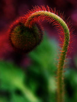 Hot Poppy by Susie DeZarn