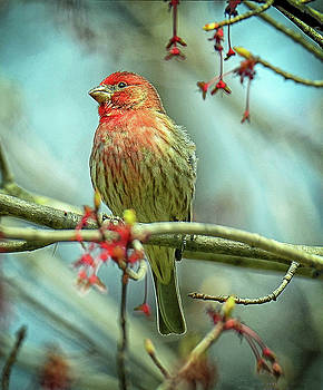 House Finch in Spring by Rodney Campbell