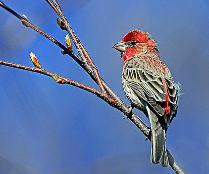 House Finch Welcomes Spring by Rodney Campbell