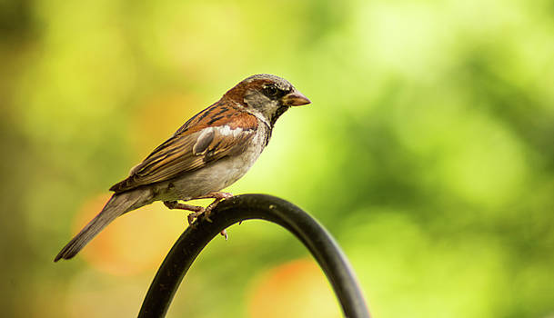 House Sparrow by Greg Thiemeyer