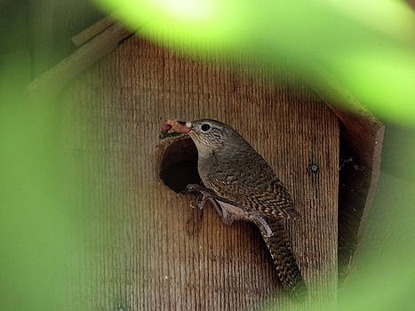 House Wren Brings Breakfast by Mark Alan Perry