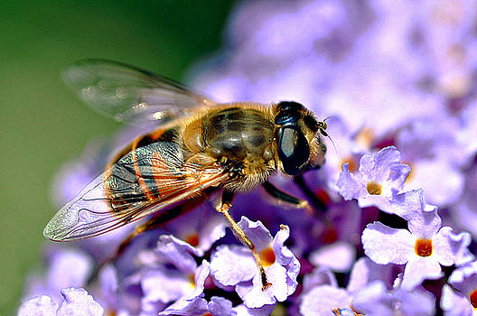Hoverfly on Lilac by Bev  Brown