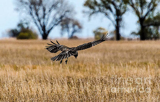 Hovering Hawk by Mary Carol Story