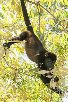 Patricia Hofmeester - Howler monkey in tree