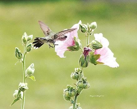 Hummingbird and Pink Hollyhocks by Margaret  Slaugh