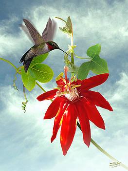 Hummingbird and Red Passion Flower by Matt Schwartz