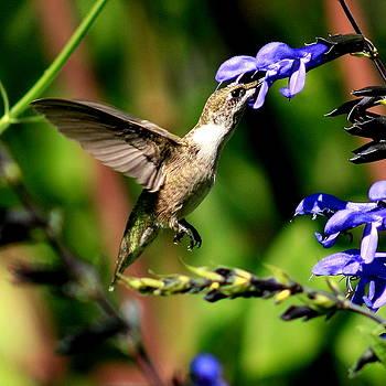 Hummingbird at Harvest by Charles Shedd