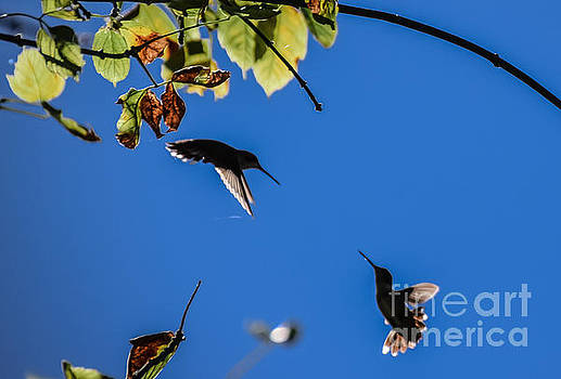 Hummingbird Dance by Peggy  Franz