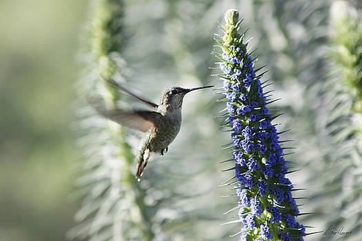 Diana Haronis - Hummingbird