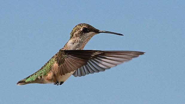 Hummingbird by Donna Quante