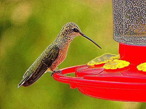 Hummingbird Feeding by Joseph Frank Baraba