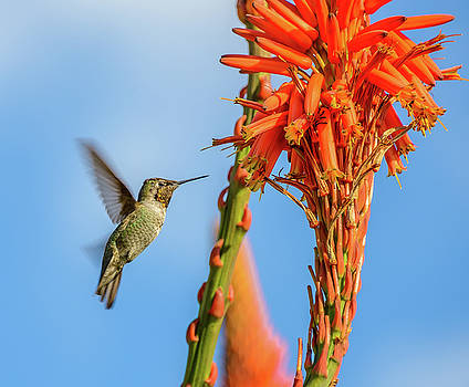 Hummingbird Flowers by Jerry Cahill