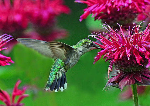 Hummingbird Gathering Nectar by Rodney Campbell