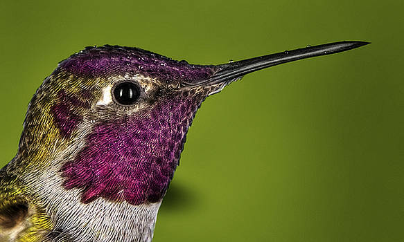 Hummingbird head shot with raindrops by William Lee