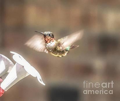 Hummingbird in Flight by Peggy  Franz