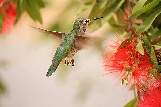Hummingbird in Paradise by Penny Meyers