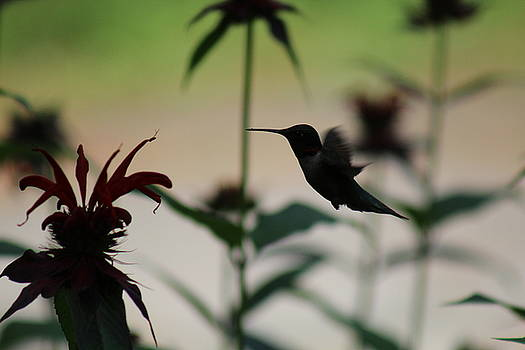 Hummingbird by Julien Boutin