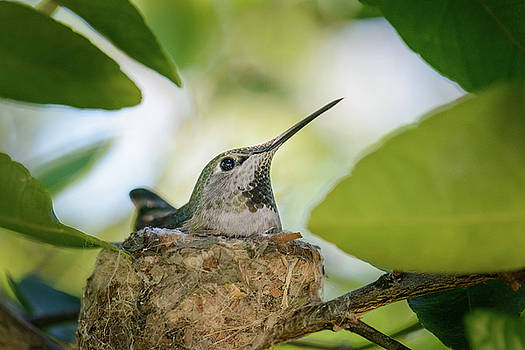 Hummingbird Mother on Nest by Alexander Kunz