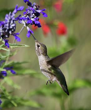 Hummingbird On Purple Flower  by Ruth Jolly