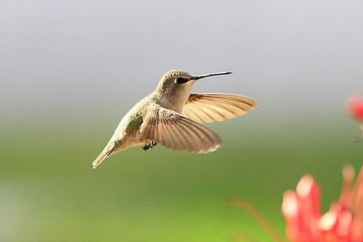 Hummingbird Profile by Shoal Hollingsworth