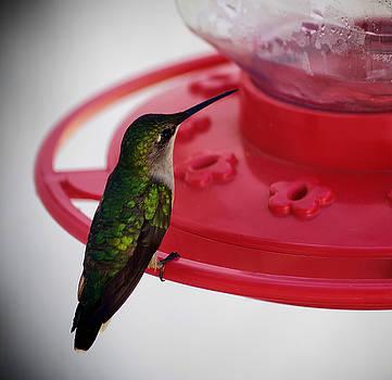 Hummingbird by Sarah Barber