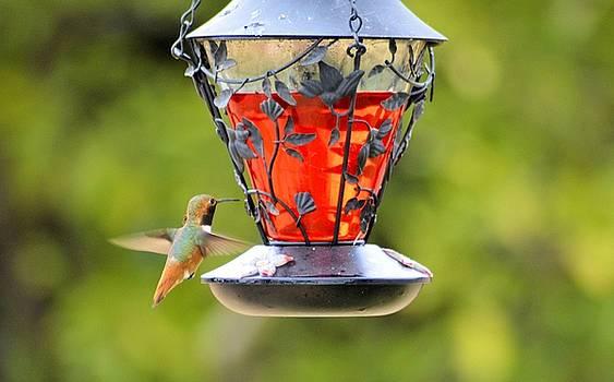 Cindy Nunn - Hummingbird Spring 2