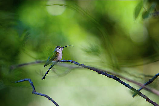 Hummingbird Sticks Out Tongue by Jane Melgaard