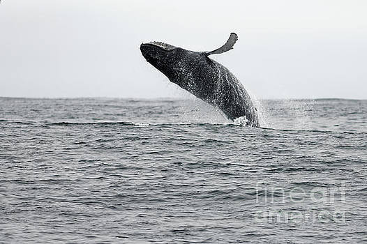 Humpback Breach by Natural Focal Point Photography