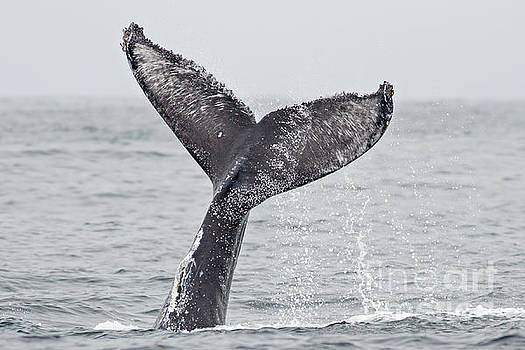 Humpback Tail Slap by Natural Focal Point Photography