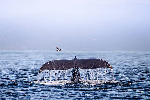 Humpback Whale Flukes by Janis Knight
