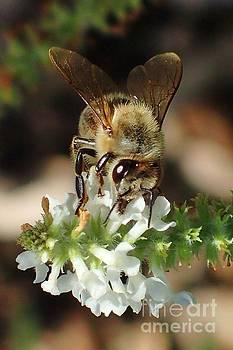 Hungry Bee by Carol McGunagle