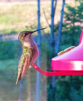 Hungry hummer by Jeanette Oberholtzer