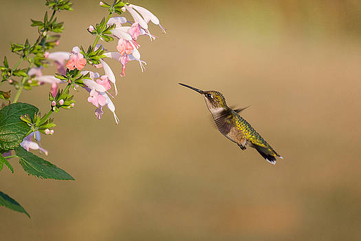 Hungry Hummingbird by Penny Meyers