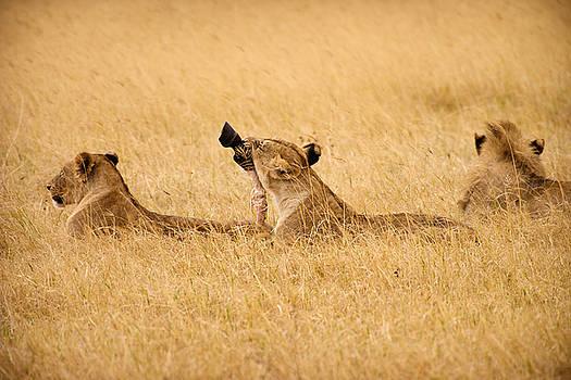 Adam Romanowicz - Hungry Lions