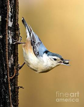 Hungry Nuthatch by Debbie Green