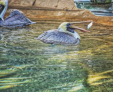 Hungry Pelican by Nikki McInnes