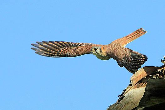 Hunting Kestrel by Shoal Hollingsworth