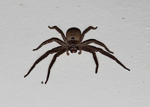 Huntsman Spider by Miroslava Jurcik